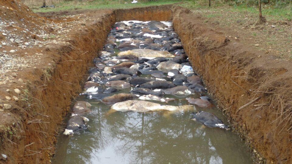 Matanza de terneros en Manuka